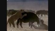مستند زیبای حیات وحش افریقا فوق دیدنی(قسمت 3)