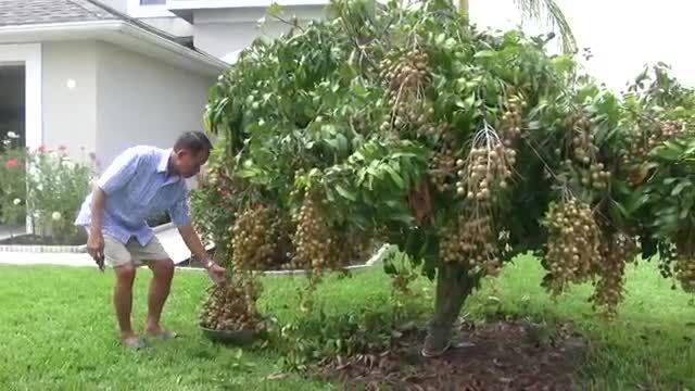 درخت میوه عجیب کمیاب ونادر!!