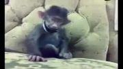 چه میمون بامزه ای!