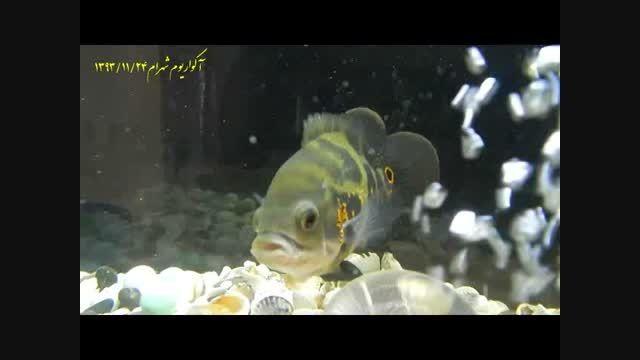 آکواریوم ماهی اسکار