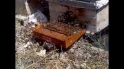 دستگاه زهر گیر زنبور عسل (فیلم کامل )