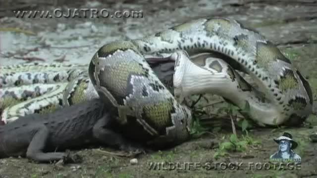 انتقام مار از تمساح-بلعیدن تمساح توسط مار