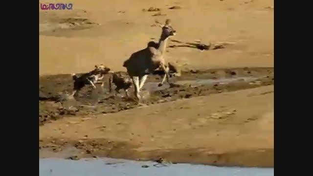 سگ های وحشی،ایمپالا را زنده زنده خوردند+فیلم کلیپ شکار