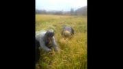 برداشت برنج استان کردستان