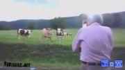 گاو ها هم از شنیدن موسیقی لذت می برن