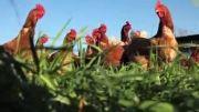 روشهای مختلف پرورش مرغ و جمع آوری تخم مرغ در مزرعه