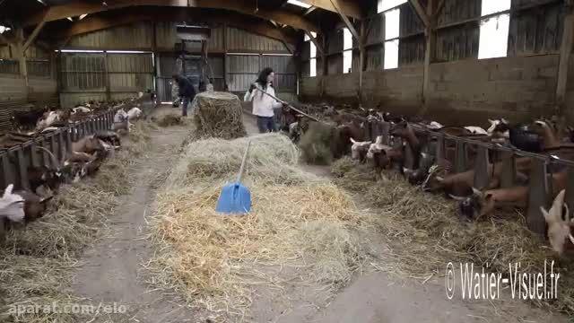 Distribution de foin et de compléments aux chèvres dans