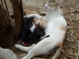 شیر خوردن بامزه ی 3 بچه گربه