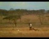 نجات یک آهو از دست یوزپلنگ