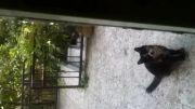 باغجه اى زیبا در تهران كربه با نوه ونتیجه. مرغابى روسى