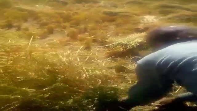 برداشت برنج در استان کردستان و در تاریخ 30 شهریور 93