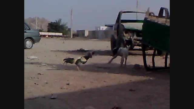 جنگ سگ و خروس