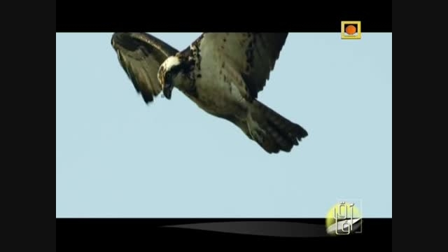 شکار ماهی و پرنده گان توسط عقاب