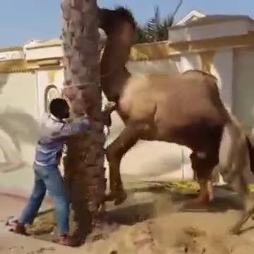 حمله شتر به انسان در حین سربریدن شتر