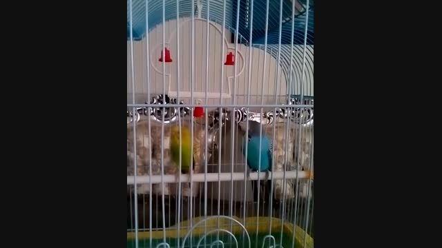 پرنده های من هومن و هلنا«مرغ عشق»
