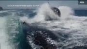 حرکت عجیب نهنگ قاتل!!