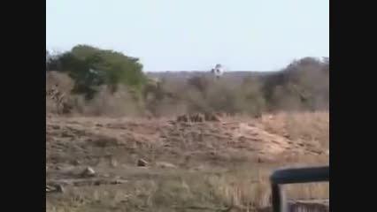 زیبا ترین ویدئو از حیات وحش ،وقتی اتحاد باشه ...