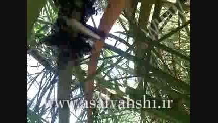 عسل وحشی - کندوی زنبوران وحشی روی درخت