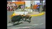 حمله ی گاو به گاو
