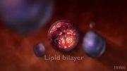 ورود ویروس دانگو به داخل سلول