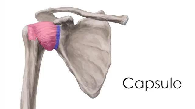 آناتومی مفصل شانه