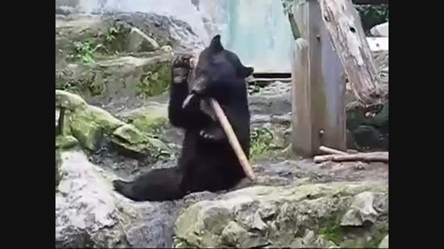 چوب بازی خرس آکروبات+فیلم کلیپ بامزه گلچین صفاسا