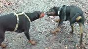 سگ دوبرمن و روتوایلر 55