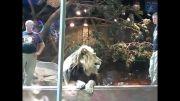 حمله ی شیر در باغ وحش