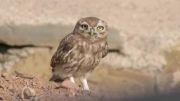 حیات وحش کورنگ-جغد کوچک-قلی آباد