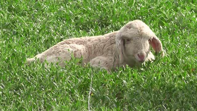 گوسفند و بره اش و بره کوچولوی خودم