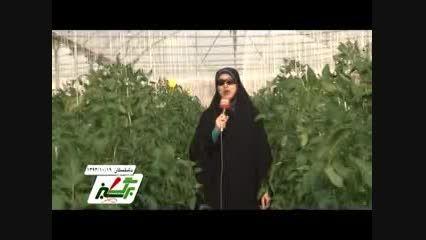 شبکه تلویزیونی بازار- کاشت گوجه فرنگی