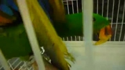 ماکائو ، اکلکتوس و کاکادو در یک قفس