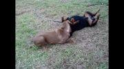 سگ روتوایلر 47