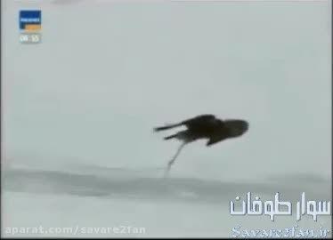 شکار روباه توسط عقاب!