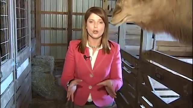 حمله شتر به مجری شبکه تلویزیونی در برنامه زنده