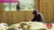 کلیپ خنده دار دوربین مخفی نابینا در قفس گوریل