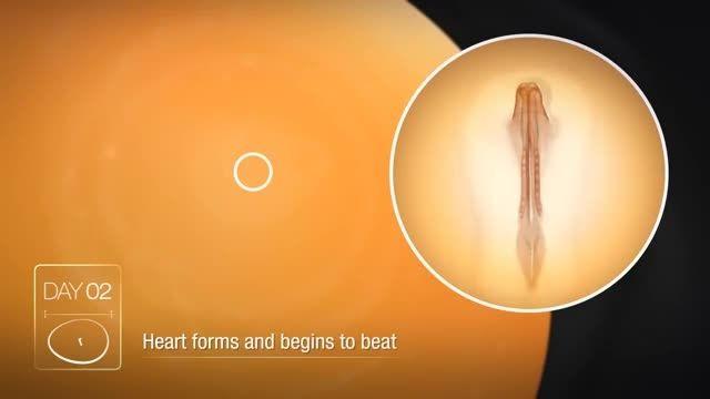 مراحل شکل گیری جوجه در تخم