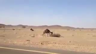 شتر در برابر بازوکا (ار پی جی)