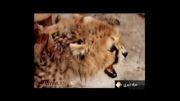 دروغ بزرگ در مورد کشتار یوز ایرانی