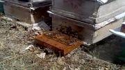 دستگاه زهر گیر زنبور عسل (نمونه تکمیلی )