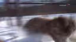 خشن ترین موجود جهان ( ببر نر سیبری )