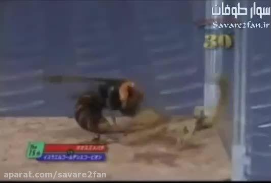 درگیری مرگبار عقرب و زنبور گاوی!