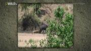 جدال جالب شیر و بوفالو وسر رسیدن پرزور جنگل