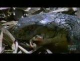 شاه مار کبرا بزرگترین و سمی ترین مار دنیا