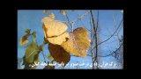 برگ درخت صنوبر در خلیفه محله گیلان