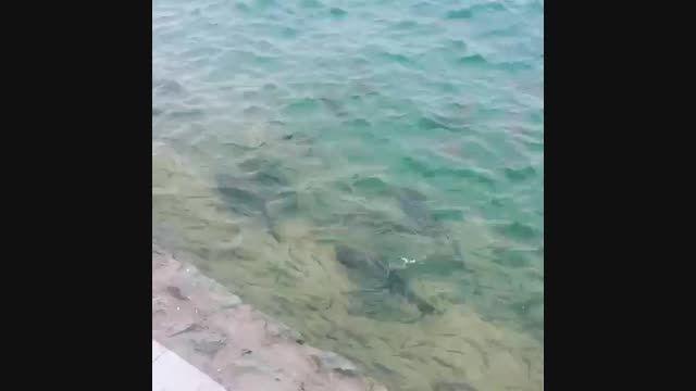 ماهی های بزرگ در دریاچه چیتگر
