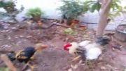 جنگ لاری با خروس محلی