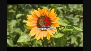 دانلود فوتیج گل آفتاب گردون با كیفیت بسیار بالا