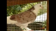 کبوترهای تزیینی             ویدیو های سعید s