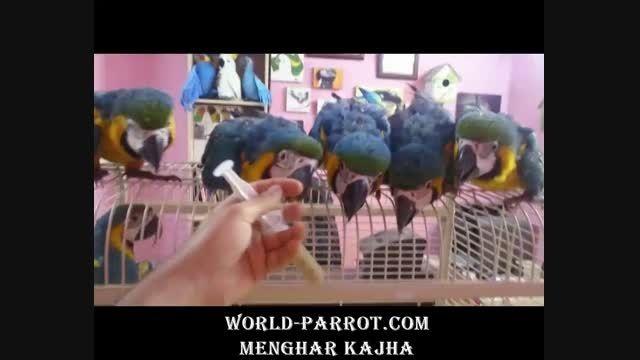 جوجه طوطی آرا آبی طلایی های جدید پرنده فروشی منقارکج ها